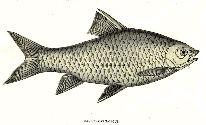 BarbusCarnaticus