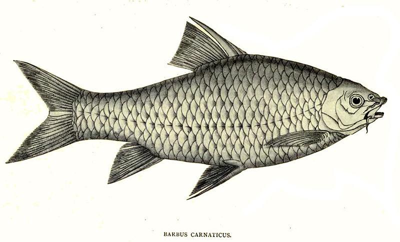 BarbusCarnaticus