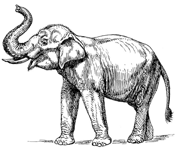 Indian_elephant_(PSF)
