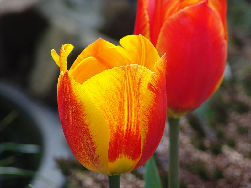 Firetulips