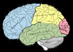 Brain.svg