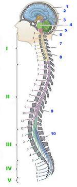 Central_nervous_system