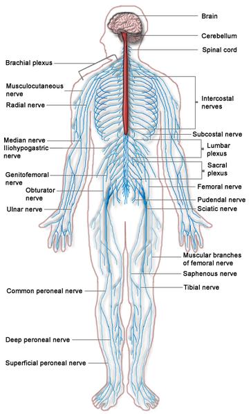 Nervous_system_diagram