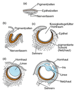 Stages_in_the_evolution_of_the_eye_(de)