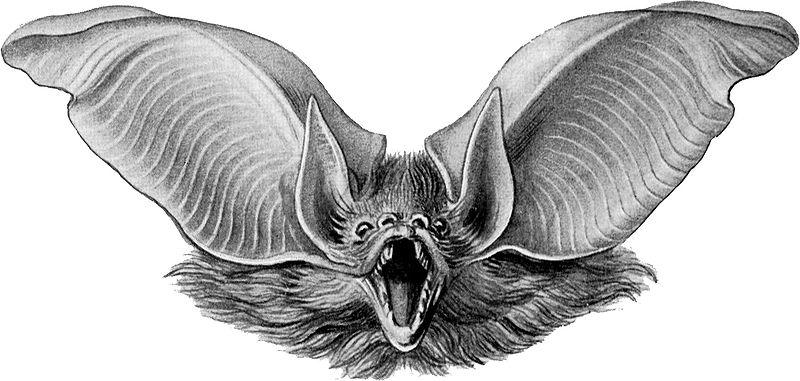 800px-Haeckel_Chiroptera_Plecotus_auritus_2