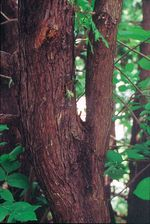Thuja_occidentalis_trunk