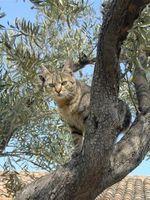 Cat_in_olive_tree