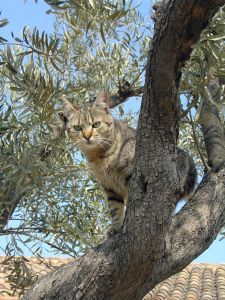 Cat_in_olive_tree