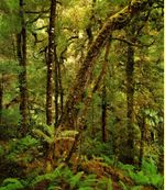 Old_growth_forest