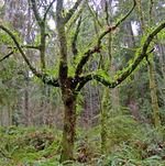 Aerial_gardenferns_on_a_tree