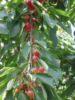 Cherrybranch_2