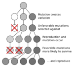 Mutation_and_selection_diagramsvg