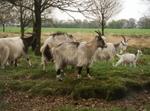 Domestic_goat_003