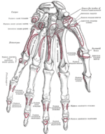 Hand_skeleton