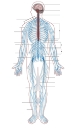Nervous_system_diagram_2