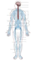 Nervous_system_diagram_2