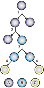 Stem_cell_division_and_differentiat