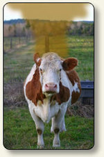 Cow_fart_2